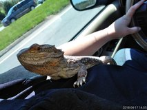 Female Bearded Dragon in Fort Campbell, Kentucky