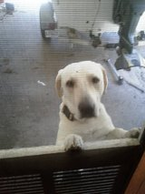 LOST White Lab REWARD in Fort Polk, Louisiana