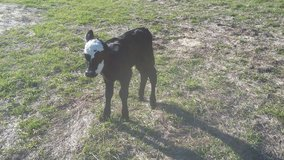 Bottle Calf   Black Baldy Beef Bull in Conroe, Texas