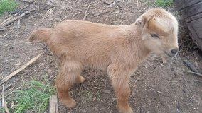 Baby Goat Doe - Nutmeg LaBoer in Conroe, Texas
