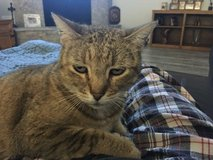 Lost Cat - Brown Tabby Female in Kingwood, Texas
