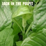 JACK IN THE PULPIT - Native Woodland Perennial Plants IN POTS in Lockport, Illinois