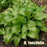Hosta lancifolia Groundcover Edging -  In Pots in Lockport, Illinois