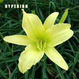 Daylily HYPERION Yellow HEIRLOOM Fragrant Perennials in Lockport, Illinois