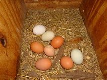 Farm Fresh eggs in Fort Knox, Kentucky