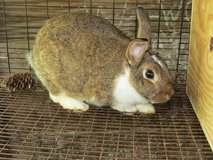 female rex lop in Livingston, Texas