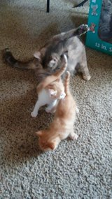 2 left Kittys( one yellow and w sold  gray calico is sold) in Fort Campbell, Kentucky