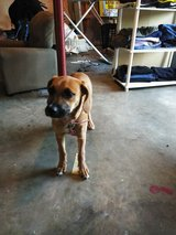 5mth old boxer/mastiff mix in Fort Campbell, Kentucky