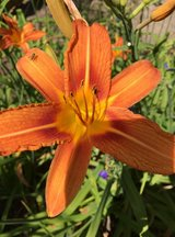 Wild Orange Day Lily in Kissimmee, Florida