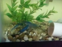 blue crafish and tank in Vacaville, California