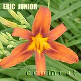 ERIC JUNIOR Daylily Brick Red Perennial Plants Heirloom in Lockport, Illinois