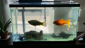5 large fish one small for adoption in Oceanside, California