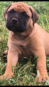 Bullmastiff puppies in Roseville, California