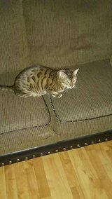 Bengal Cat in Fort Campbell, Kentucky