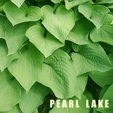 PEARL LAKE Med-size HOSTA, In Pots in Lockport, Illinois