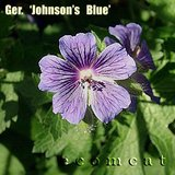 JOHNSON'S BLUE Perennial Geranium Cranesbill In Pots in Lockport, Illinois