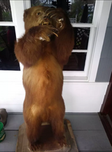 Brown bear Taxidermy in Kingwood, Texas