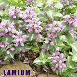 LAMIUM Flowering Groundcover for Shade in Westmont, Illinois