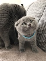 Scottish Fold/ BSH Kitten in Oklahoma City, Oklahoma