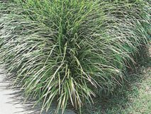 "Hundreds of 3 gallon (10"" pots) of Mondo/Monkey Grass, Evergreen, Drought/Freeze Resistant Lands... in Katy, Texas"