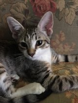 Free Kitten in Beaufort, South Carolina