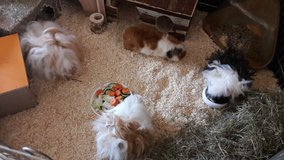 4 Guinea Pigs with accessoires. in Ramstein, Germany