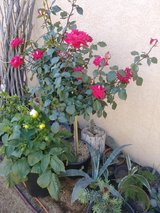 Roses for sale in 29 Palms, California