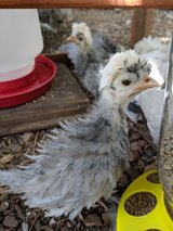 Smoothe and frizzle polish chicks in Conroe, Texas