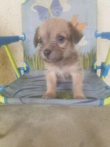 Carin Terrier Mix Puppies in Camp Pendleton, California