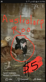 australorp roo in Livingston, Texas