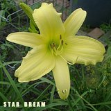 STAR DREAM Pale Yellow Fragrant Daylily in pots in Bolingbrook, Illinois