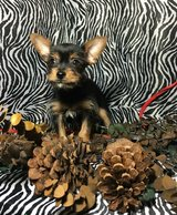 Perfect Yorkshire Terrier Puppies For Sale Text (443) 563-1239 in Riverside, California