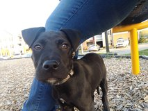 Lab Pit Mixed Puppy *need someone to adopt him soon or he will have to pound in Fort Campbell, Kentucky