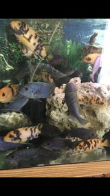 Cichlids fish in New Lenox, Illinois