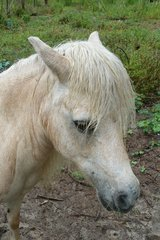 Miniature Mare in Hamilton Co., FL, Florida