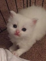 Ragdoll Kittens in Beaufort, South Carolina