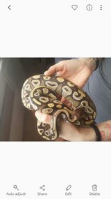 ball python morph- mojave pastel het clown in Indianapolis, Indiana