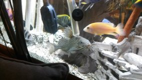 High fin cat fish, pleco and cichlids in Rolla, Missouri