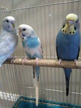 4 Parkeets for FREE!!!!!!!!!!!!! in Perry, Georgia