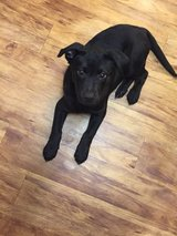 lab chow mix in DeRidder, Louisiana