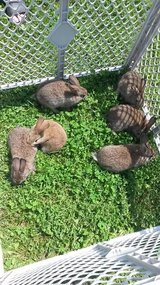 Bunnies in Rolla, Missouri