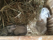 Rabbits - selling out! in Leesville, Louisiana