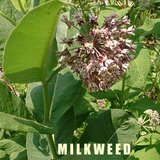 MILKWEED Native Perennial Plants In Pots in Plainfield, Illinois