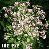 JOE PYE WEED Native Tall Perennial Garden Plants in pots in Plainfield, Illinois