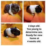 Baby guinea pigs in Sandwich, Illinois