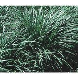 "OVER 150, 3-GALLON (10"" POTS) MONKEY GRASS, evergreen border 12"" POTTED PLANTS in Katy, Texas"