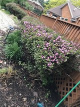 Wine weigela bushes in Chicago, Illinois