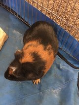 Guinea Pigs in Temecula, California