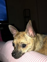 9 month old chihuahua w/ckc papers in Fort Belvoir, Virginia