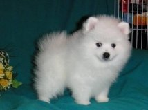 Playful Pomeranian Puppies Available in 29 Palms, California